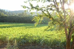 The vineyards at the hotel