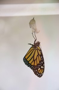 Newly emerged in the incubator portion of the exhibit