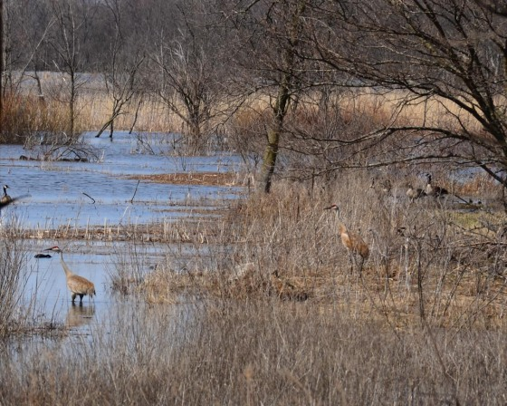 There are three geese, two cranes and some ducks in this photo.  Can you find them all?