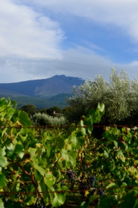 Vineyard (with red and green grapes) with Etna as the background!