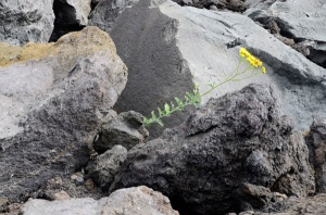 Life clinging to the lava rocks.