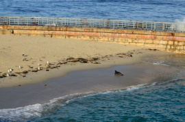 Harbor seals on the beach near La Jolla