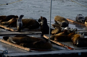 Sea lions on the bait dock...They really are quite distinctly different from seals.