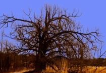 Oak against the blue sky