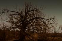 Oak against a gloomy sky