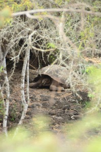 A giant tortoise with a dome-shaped shell.  These we did see in the wild.  Stay tuned for more photos down the road.