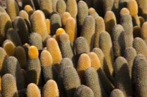 The lava cactus close up.