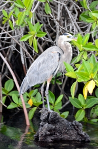 A Great Blue Heron - also a visitor to my pond in WI.