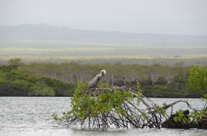 Brown Pelican in a tree