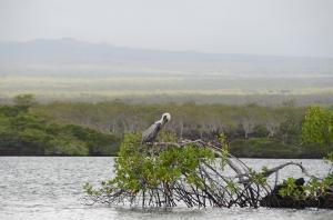 Brown Pelican in a tree