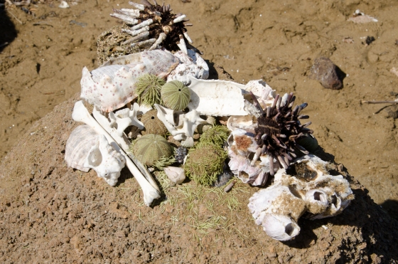 A collection of interesting artifacts left behind by rangers for the guides?  Note the green sea urchin!  That isn't alga.