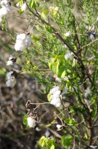 Cotton, growing wild.  This plant has the most splendid flower of any native plant in Galapagos, not shown here.