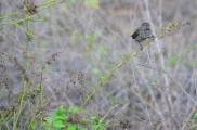 Darwin Finch (?)