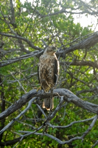 Young, male Galapagos Hawk