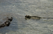 Marine Iguana in action - swimming. Actually it isn't the swimming that distinguishes these iguanas from others - many iguanas swim. What distinguishes them is that they feed on marine plants and algae, exclusively!