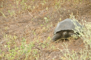 A giant, dome-shaped, tortoise in the wild.  Taken in the rain with my camera in a plastic bag...