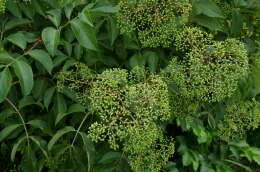 Elderberry bushes