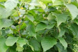 Hazelnut bushes