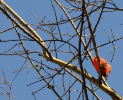 This male cardinal has been here all winter, but look how bright his plumage is as mating season nears!