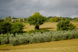 Olive groves highlighted by the sun shining through the clouds.