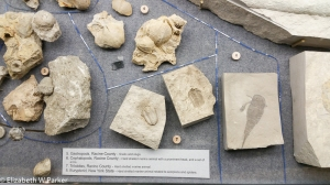 Some of the many fossils in the showcases.