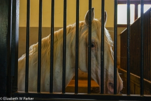 Lippizaner in his stall - looking pretty tame? (he's a gelding!)
