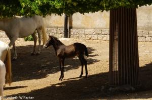 Lippizaner foal