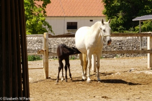 The Lippizaner is (usually) born dark and acquires the white coat with age. here's a mare and foal.
