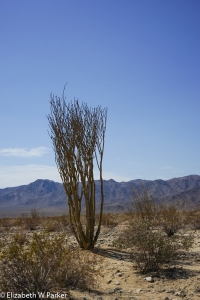 The ocotillo