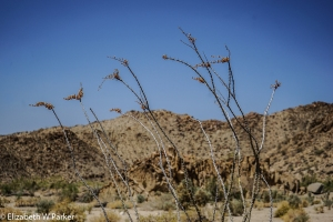 The tips of the ocotillo branches