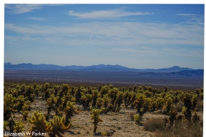 sea of cholla cacti