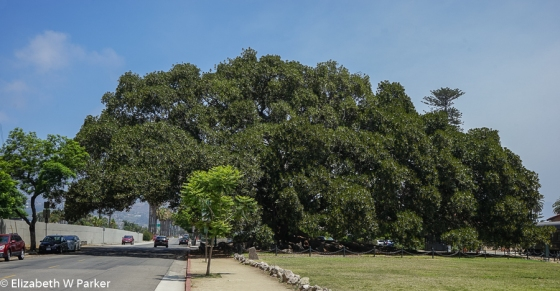 Moreton Fig Tree in Santa Barbara