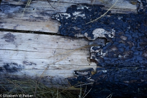 Blackened bark contrasts with the bleached wood revealed beneath. Scars of forest fires.