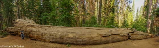 Panoramic shot of a fallen Giant Sequoia in Tuolumne Grove. Gerry stands at each end. Look for his blue jeans on the right side...