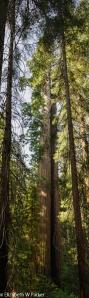 Giant Sequoia - Tuolumne Grove