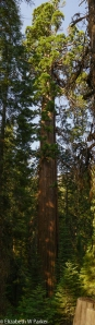 Giant Srquoia - Tuolumne Grove, Yosemite National Park