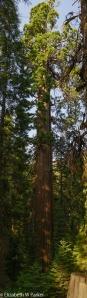 Giant Srquoia - Tuolumne Grove, Yosemite National Park
